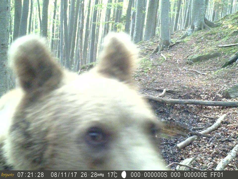 Bear caught by the camera trap of Science for Nature Foundation in The Central Balkan National Park
