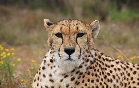 Азиатските гепарди – на ръба на изчезване
