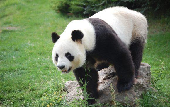 Учени използват отпeчатъци от панди за идентифициране и мониторинг