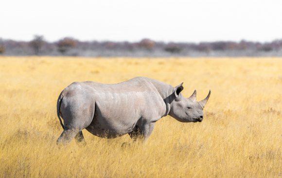 ДНК доказателства помагат за опазване на носорозите от изчезване