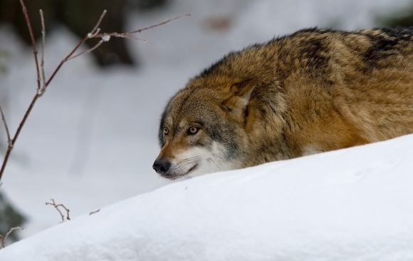 Безобиден или безпощаден ловец? Трудното завръщане на вълците в Европа