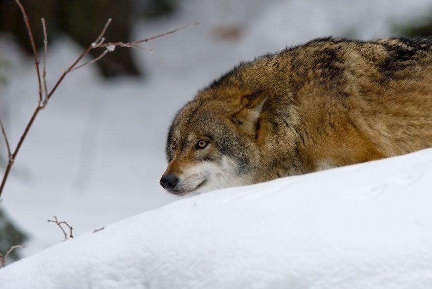 Harmless or vicious hunter? The uneasy return of Europe's wolves