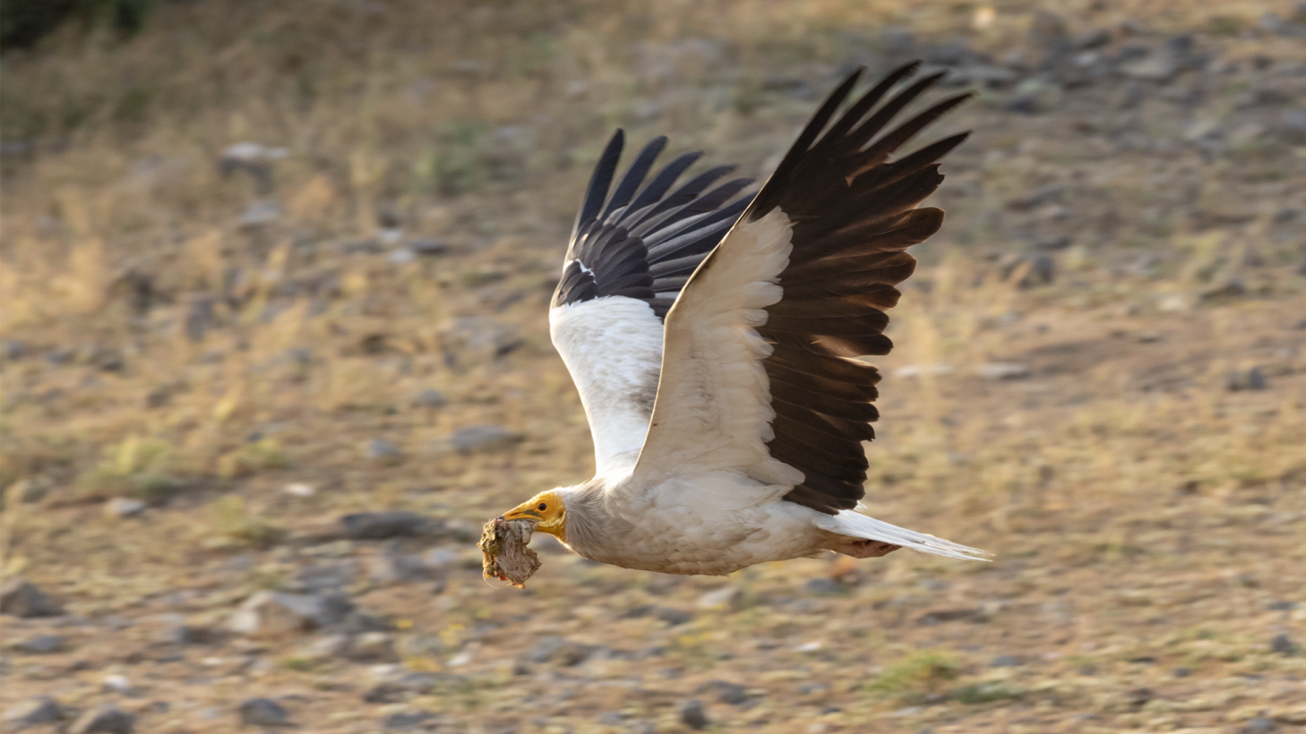 Action plan for the Egyptian Vulture
