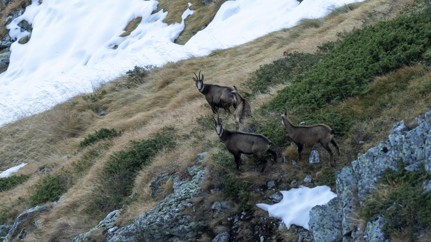 План за действие за Балканската дива коза