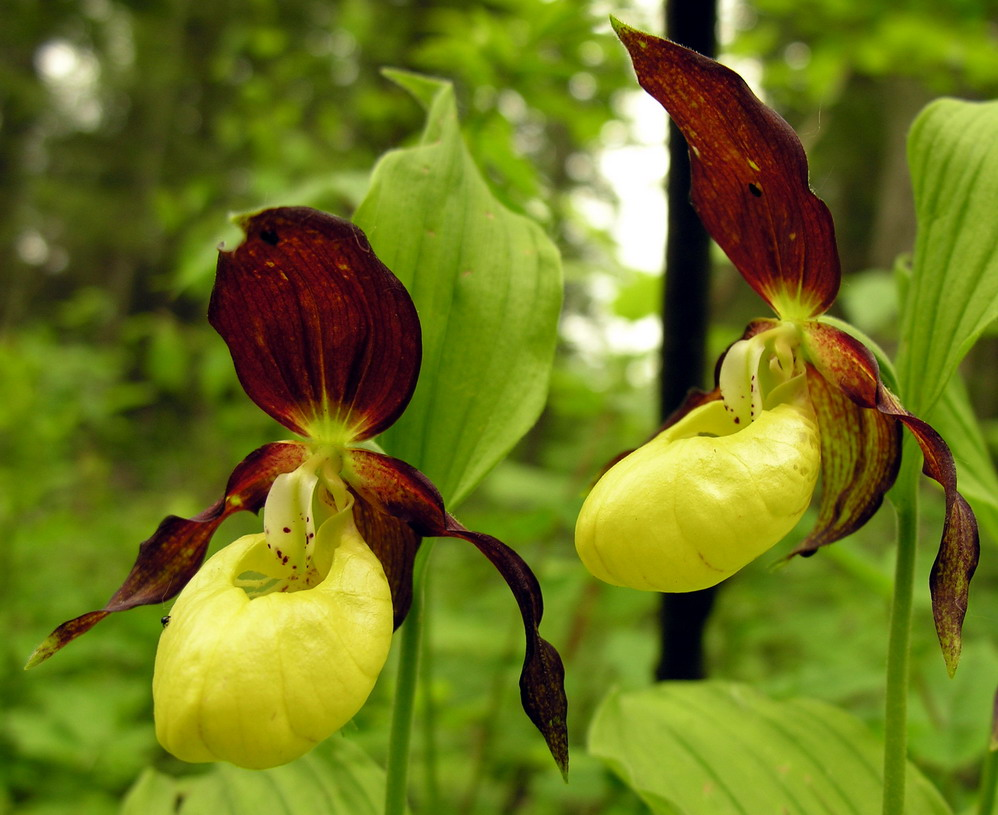 Action plan for the Lady's slipper