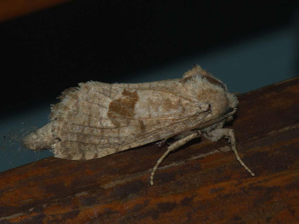 План за действие за пеперудата Catopta thrips