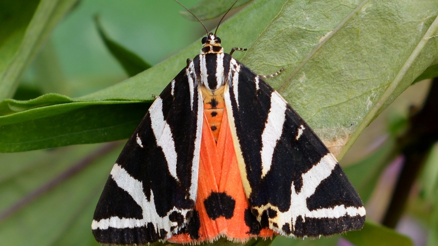 Action plan for the Jersey tiger