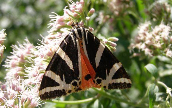 Общественo обсъжданe за тигрова пеперуда