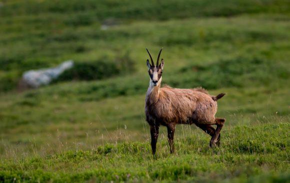 Обществени обсъждания за дива коза